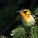 Blackburnian Warbler by Wayne Wood