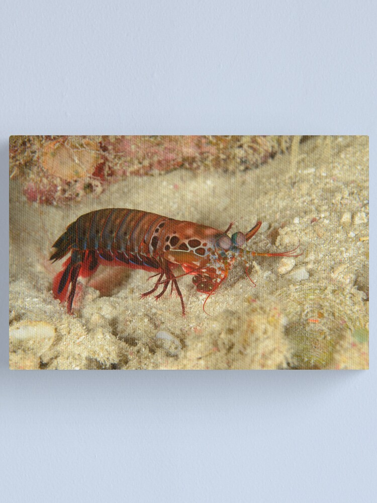 Alternate view of Peacock Mantis Shrimp - Odontodactylus scyllarus Canvas Print