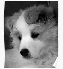 Border Collie Puppy Poster