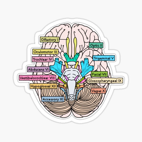 Nervios craneales Pegatina