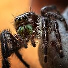 Jumping Spider by Karri Klawiter