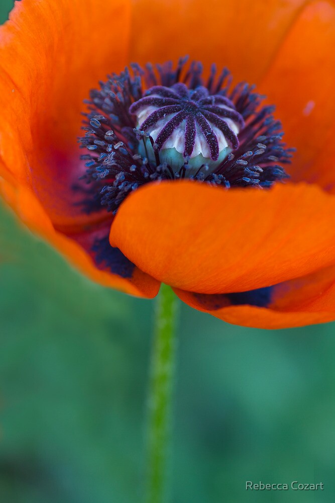 Hot Red Poppy by Rebecca Cozart