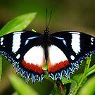 Madagascar diadem (hypolimnas dexithea)  -   Ramanofana Forrest  Madagascar by john  Lenagan