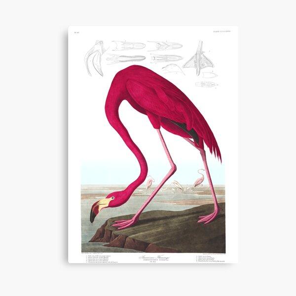 American Flamingo - John James Audubon Canvas Print