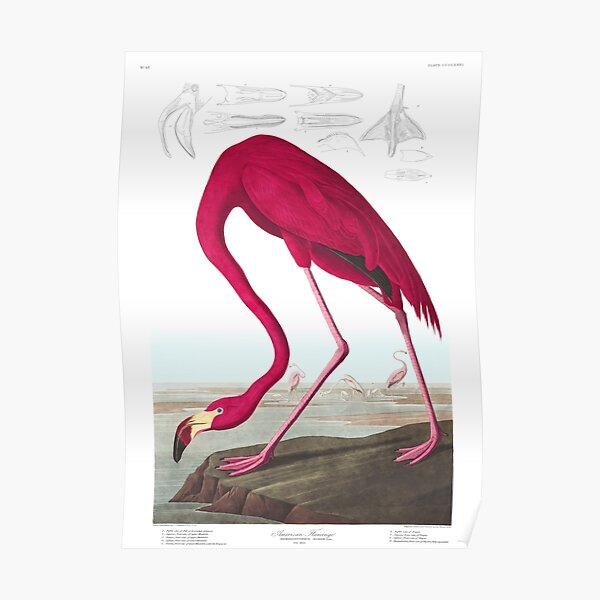 American Flamingo - John James Audubon Poster