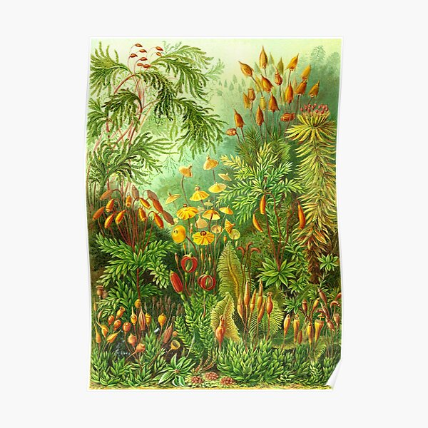 Moss - Ernst Haeckel  Poster
