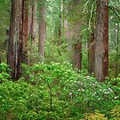 Del Norte Redwoods by Michael Breitung