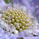 Scabious Centre by Deborah Clearwater