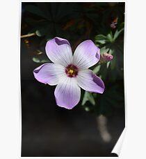 STUNNING OXALIS FLOWER CREATION Poster
