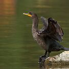 Double-crested Cormorant by Jim Cumming