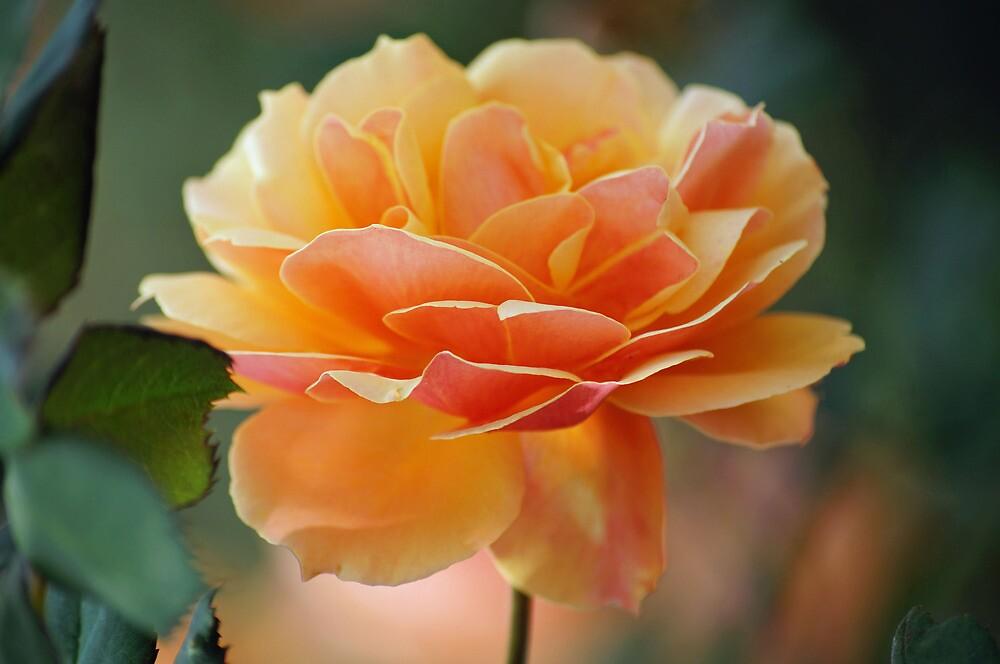 Peach Rose by Cassy Greenawalt
