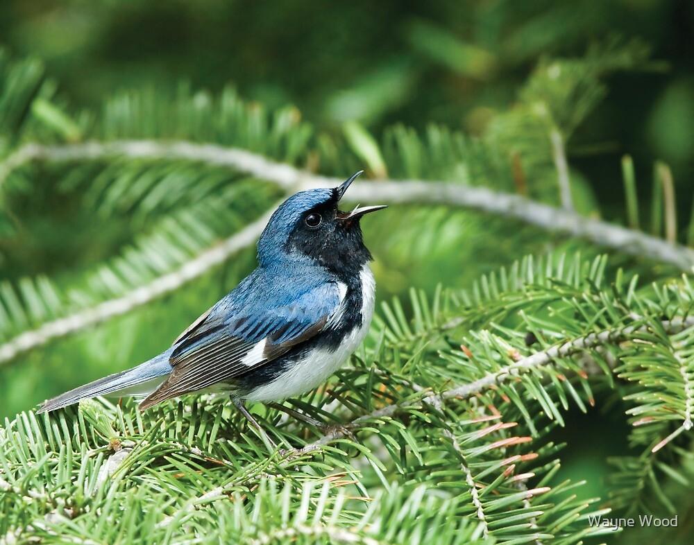 Black-throated Blue Warbler by Wayne Wood