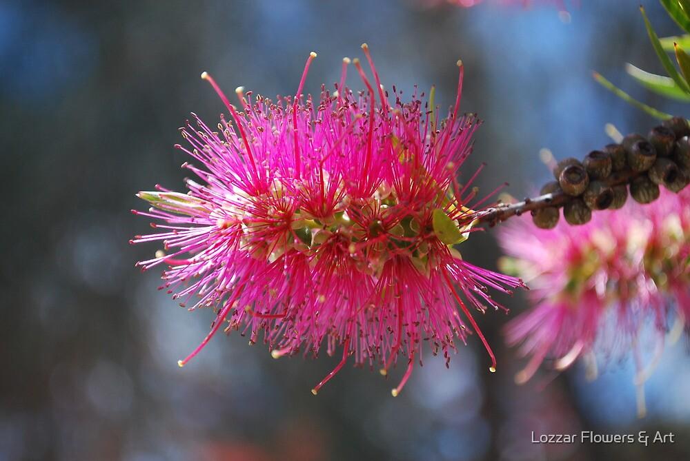Bottlebrush, pink by Lozzar Flowers & Art