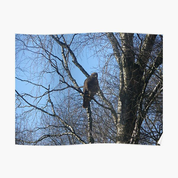 buzzard in our tree Poster