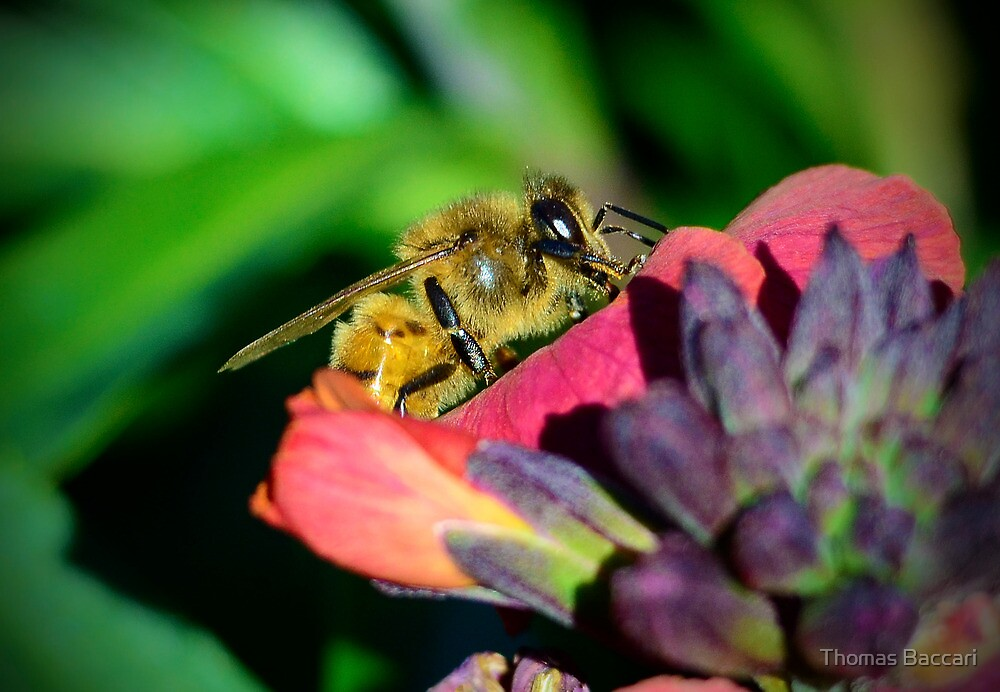 Bee Close Up by TJ Baccari Photography