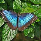 Blue Morpho by Linda Long