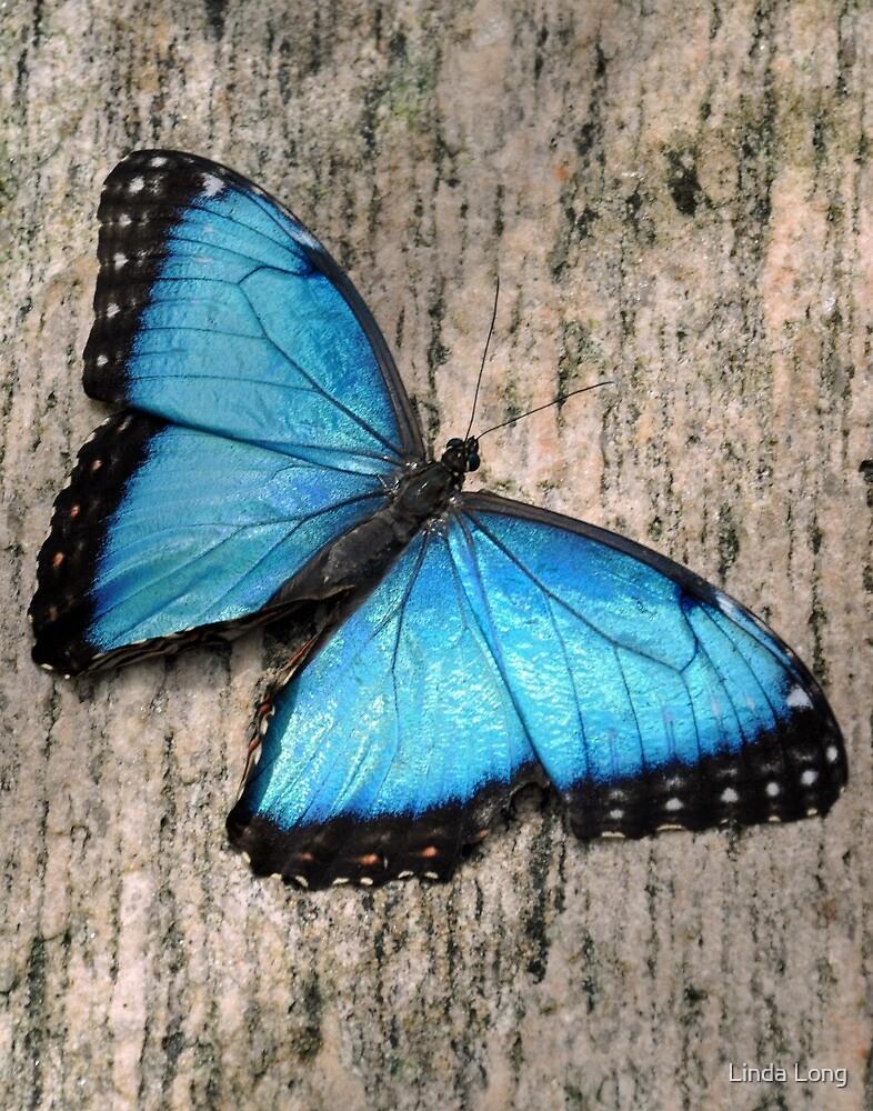 Blue Morpho on Granite by Linda Long