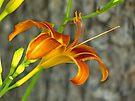 Ditch Lily by FrankieCat