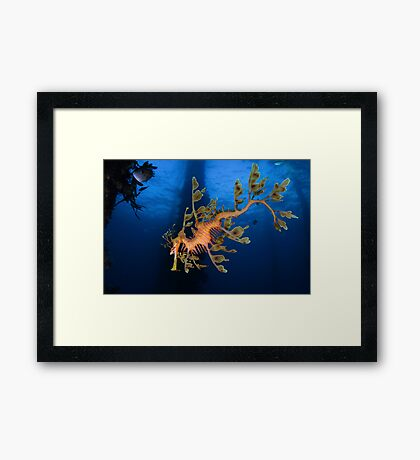 Phycodurus eques Framed Print