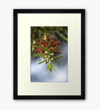 Bottlebrush of Nature Framed Print