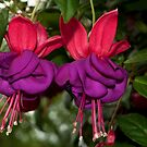 Fuchsia by Penny Fawver