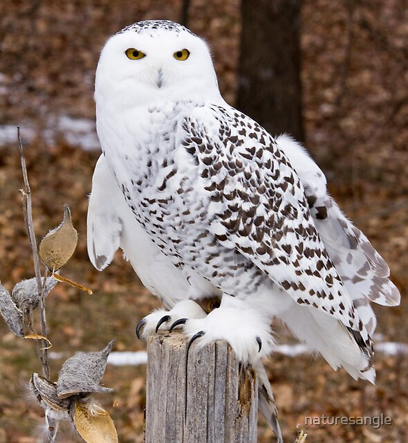 Snowy Owl by naturesangle