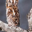 Red Screech Owl by Karri Klawiter