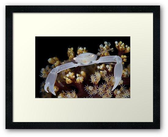 White Coral Crab by MattTworkowski