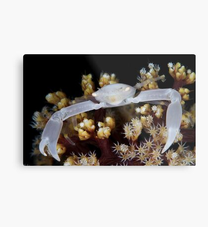 White Coral Crab Metal Print