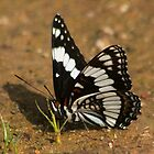 White Admiral by Arla M. Ruggles