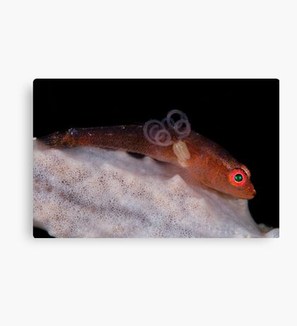 Goby With Parasite Canvas Print