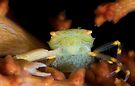 Yellow Porcelain Crab With Eggs by MattTworkowski