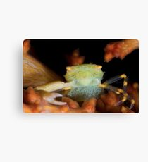 Yellow Porcelain Crab With Eggs Canvas Print