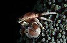Porcelain  Crab by MattTworkowski