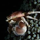 Porcelain  Crab by MattTworkowski