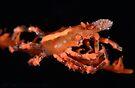 Orange Xeno Crab by MattTworkowski