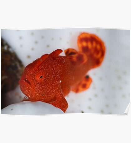 Painted Frogfish Poster