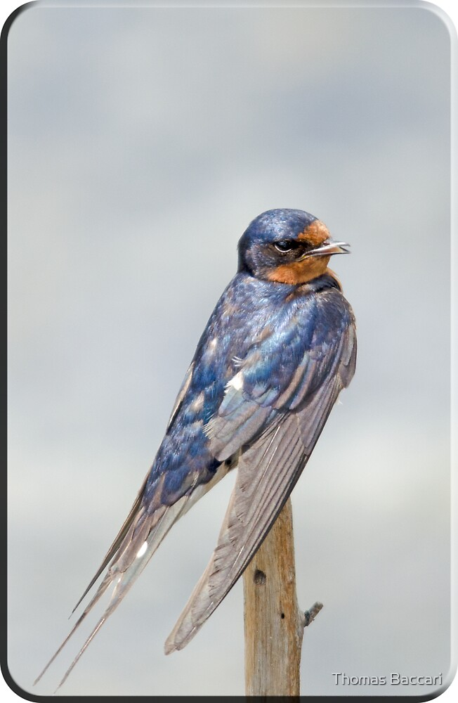 Swallow with Beak Open and Singing a Song by TJ Baccari Photography