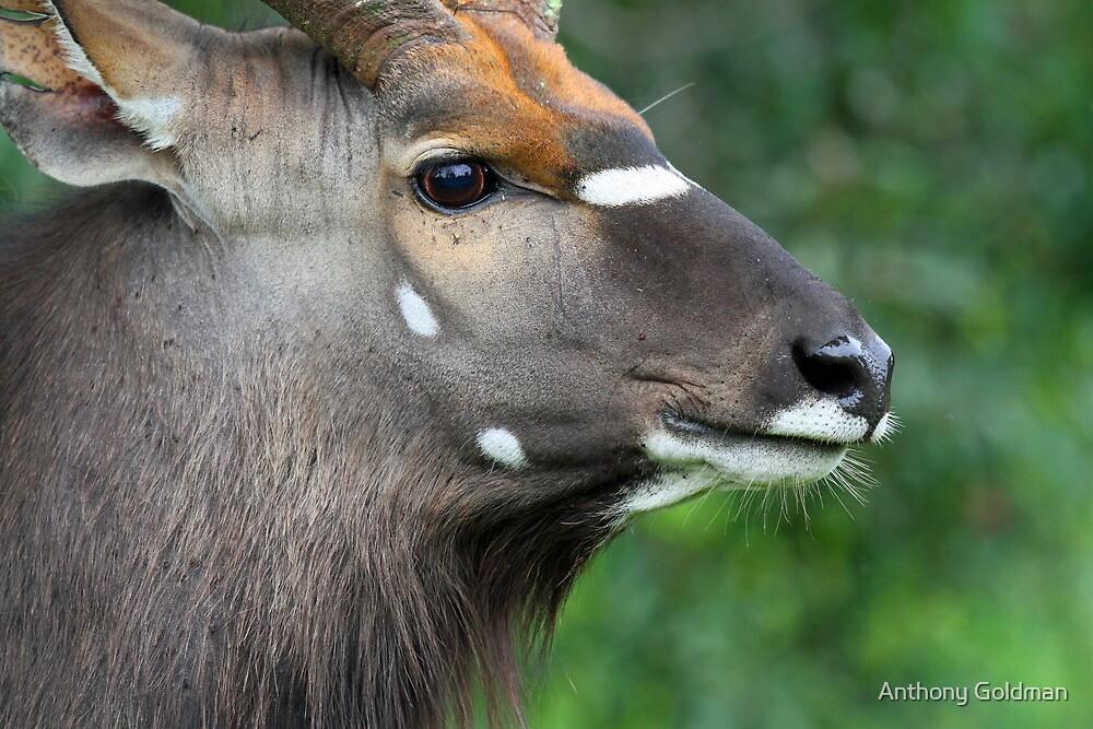 Male Nyala in profile by Anthony Goldman