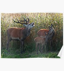 A family of red deer Poster