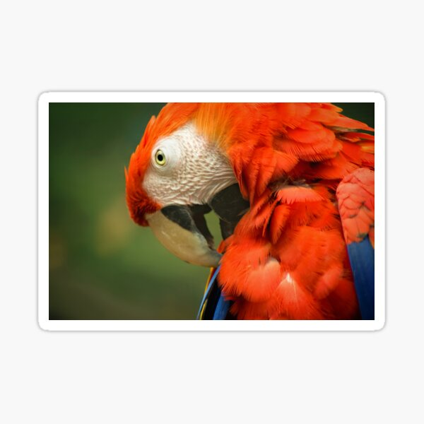 Red Parrot, the Scarlet Macaw – portrait Sticker
