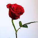 Red Rose - Keeping me alive by mjamil81