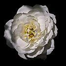 White rose by mjamil81