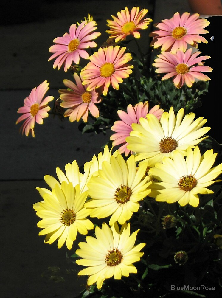 Yellow and Orange Cape Daisies by BlueMoonRose