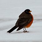 Robin by farmbrough