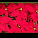 Christmas card with poinsettias by Cheryl Hall