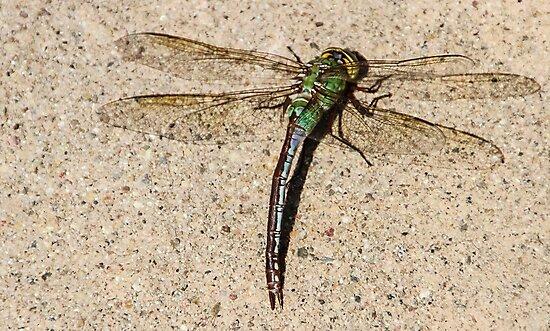Dragonfly by Heather Friedman