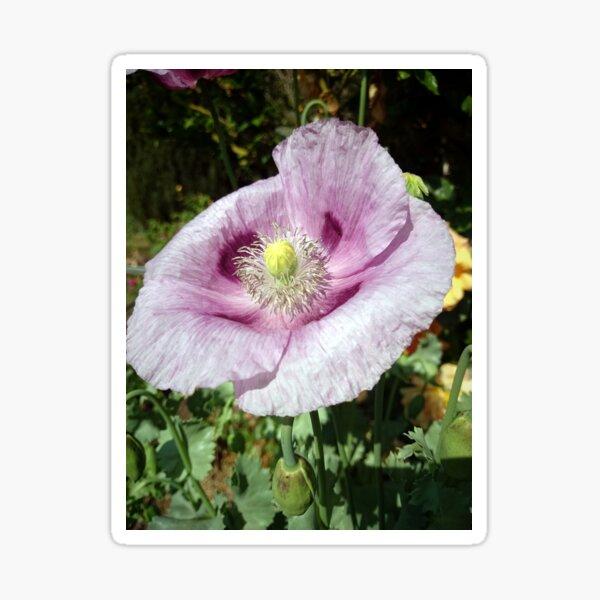 Mohn-Blüte Sticker