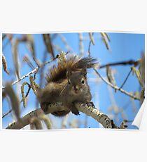 Squirrels - British Columbia Canada Poster