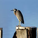 White faced Heron by robmac